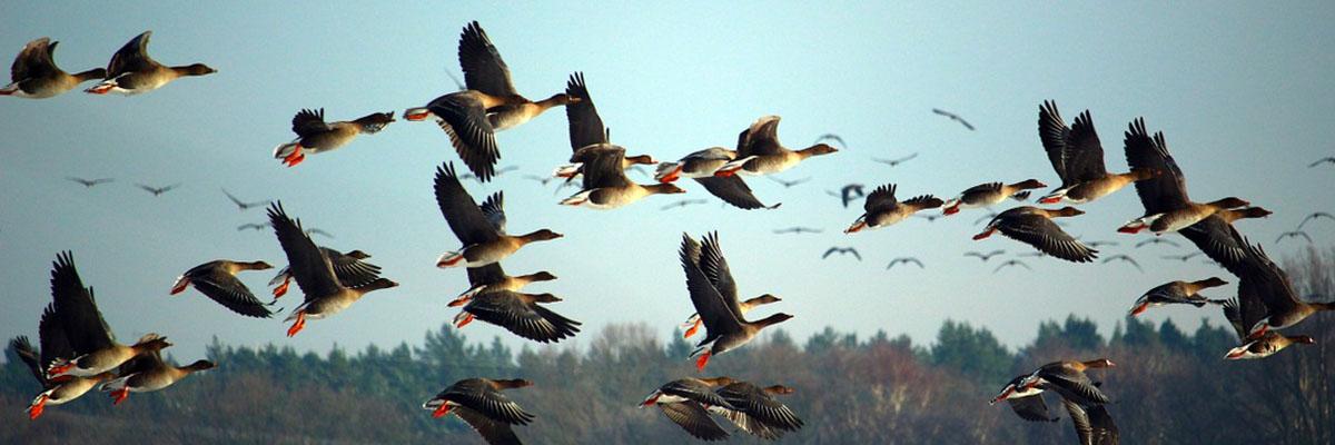 Zugvögel: Reise mit Risiko | Umwelt im Unterricht: Materialien und ...