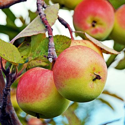 haben äpfel viel zucker
