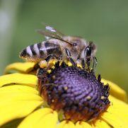 Bienen sind wichtige Helfer | Umwelt im Unterricht: Materialien und ...